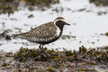 Pacific golden plover which stands among the seaweed on the sea Royalty Free Stock Photo