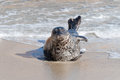 Pacific harbor seal Royalty Free Stock Images