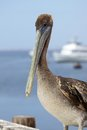 Pacific Pelican Royalty Free Stock Images