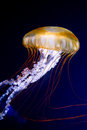 Pacific sea nettle Chrysaora fuscescens Royalty Free Stock Photo