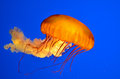 Pacific Sea Nettle(Chrysaora fuscescens) Royalty Free Stock Photo