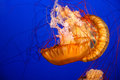 Pacific Sea Nettle Jellyfish (Chrysaora Fuscescens) Royalty Free Stock Photo
