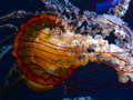 Pacific Sea Nettles Stock Image