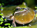 Pacific Tree Frog Calling Stock Photography