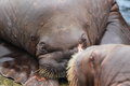 Pacific walrus detail the of adult Stock Image