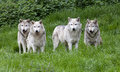 Pack of european grey wolves a playing in grass Royalty Free Stock Images