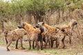 Pack of Hyena bonding in the Kruger Park