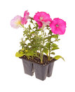 Pack of pink-flowered petunia seedlings Royalty Free Stock Photo