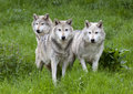 Pack three of european grey wolves a playing in grass Stock Image