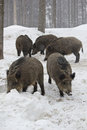 Pack of wild boars Stock Images