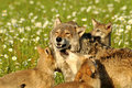 Pack of wolves in field of flowers Royalty Free Stock Image