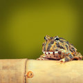 Pacman frog funny tropical toad Royalty Free Stock Photo