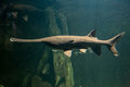Paddlefish with natural habitat in the river Royalty Free Stock Photo