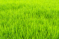 Paddy field close up of in asia country Royalty Free Stock Photography