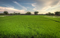 Paddy field freshly planted rice in the malaysian countryside bright and green Royalty Free Stock Images