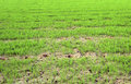 Paddy field green on a Stock Photos