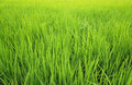 Paddy field green nature background Stock Photography