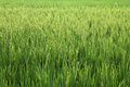 Paddy field image of rice suitable for background usage Royalty Free Stock Image