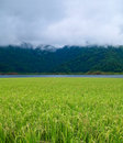 Paddy field with misty mountain Royalty Free Stock Image