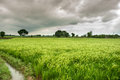 Paddy Field Royalty Free Stock Photo