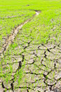 Paddy field rainless asia paddy field Royalty Free Stock Image