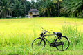 Paddy field scene local can found in kedah state in malaysia Stock Photography