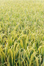 Paddy Field Series 4 Royalty Free Stock Photography