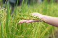 Paddy field stalk of ripening rice on hand Royalty Free Stock Image