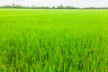 Paddy field young rice plant in rice at thailand Royalty Free Stock Images