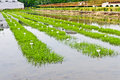 Paddy fields farm the rice seedlings in the field Royalty Free Stock Photos