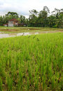 Paddy fields and house Royalty Free Stock Image