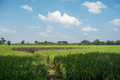 Paddy fields path between and blue sky Stock Image