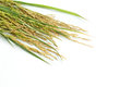 Paddy grain stalk of isolated on white background Stock Photo