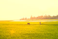 Paddy green and gold rice fields blur with morning soft sunrise Royalty Free Stock Photo