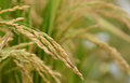 Paddy rice. Royalty Free Stock Photo