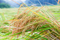 Paddy rice field japan Stock Photo