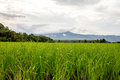 Paddy rice field ready for harvest on mountain in noroth of thailand Stock Photography