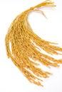 Paddy rice on isolate closeup Stock Photo
