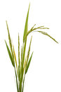 Paddy rice isolated on white background Royalty Free Stock Images
