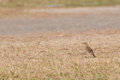 Paddyfield pipit anthus novacseelandiae walking on field Stock Photos