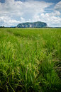 Padi Field and Mountain Royalty Free Stock Photo