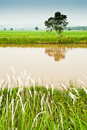 Padi Field and Water Canal Royalty Free Stock Image