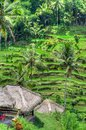 Padi Terrace, Bali, Indonesia - Local plantation of the layered rice terrace in Bali Island, Indonesia Royalty Free Stock Photo