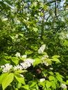 Padus avium white flowering bird cherry tree with lush green leaves Royalty Free Stock Images
