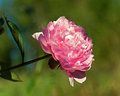 Paeonia lactiflora, pink peony flower and stem Royalty Free Stock Photo