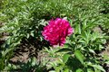 Paeonia officinalis with one rose pink flower Royalty Free Stock Photo
