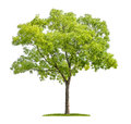 Pagoda tree on a white background isolated Stock Photography
