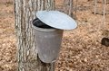 Pail for collecting maple sap used to collect of trees to produce syrup in quebec Royalty Free Stock Photos