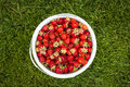 Pail of fresh strawberries on green grass bucket freshly picked shot from above outside Stock Photos