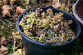 Pail of Grapes Royalty Free Stock Image